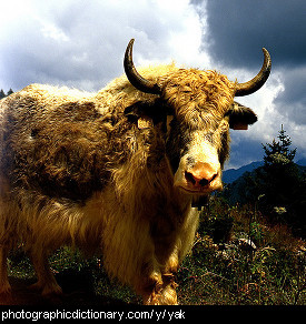 Photo of a yak
