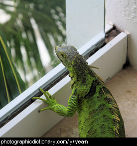 Photo of a lizard yearning to be outside