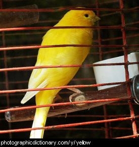 Photo of a yellow bird